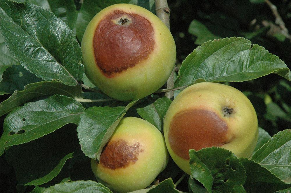 Äpfel am Baum mit Brandstellen von der Sonne