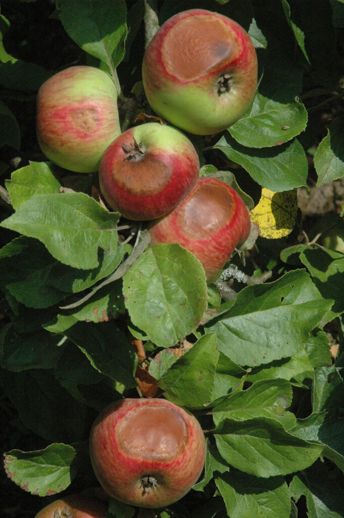 Klimawandel: Äpfel mit Sonnenbrand