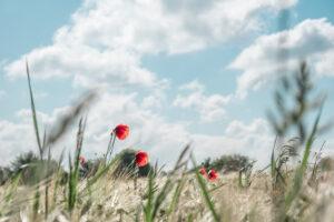 Gute-Laune-Bild: Blauer Himmel über einem Getreidefeld mit herausstechenden, roten Mohnblumen