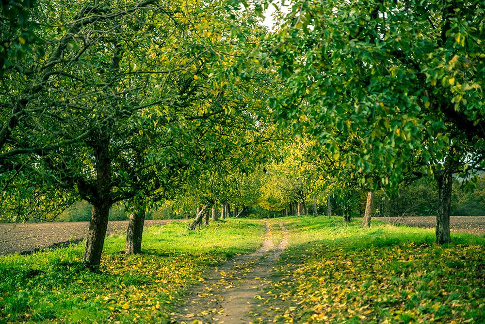 Eine Apfelbaumallee in Hoberge-Bielefeld