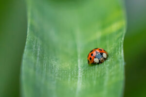 Marienkäfer auf einem grünen Blatt.